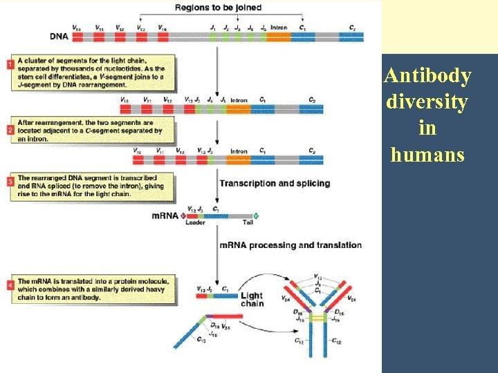Antibody diversity in humans