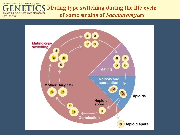 Mating type switching during the life cycle of some strains of Saccharomyces