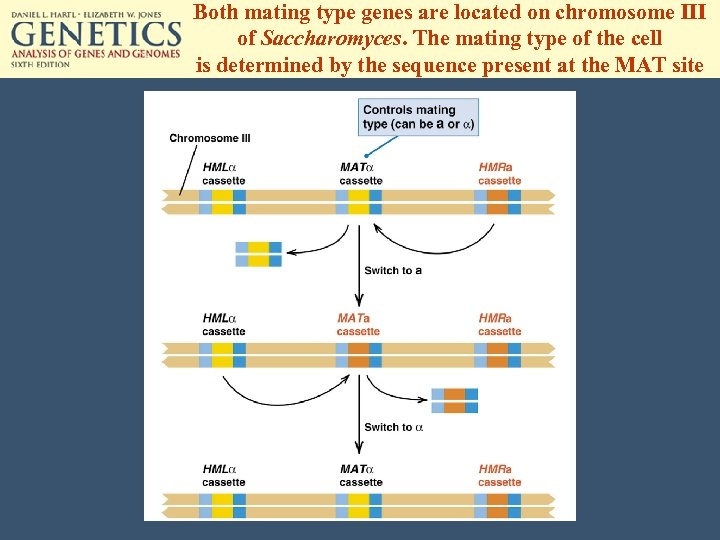 Both mating type genes are located on chromosome III of Saccharomyces. The mating type