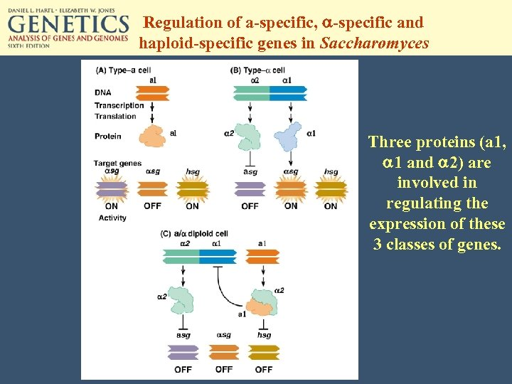 Regulation of a-specific, a-specific and haploid-specific genes in Saccharomyces Three proteins (a 1, a