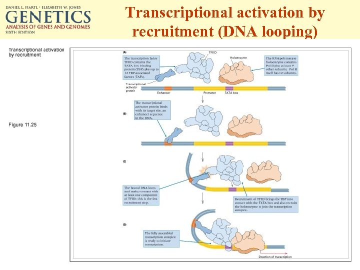 Transcriptional activation by recruitment (DNA looping)