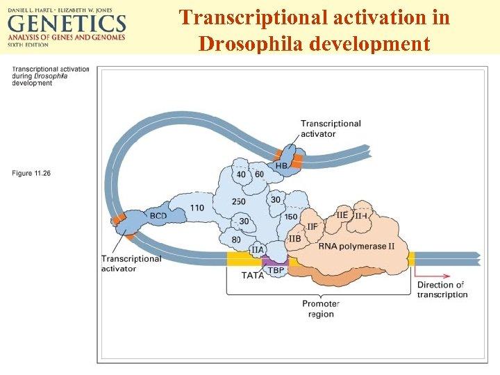 Transcriptional activation in Drosophila development