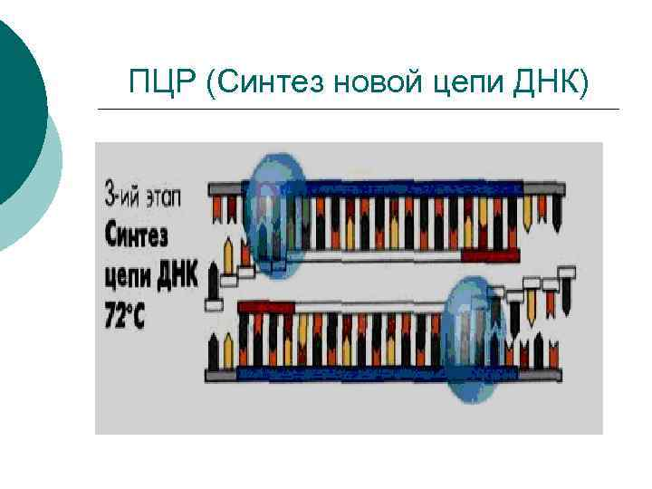 ПЦР (Синтез новой цепи ДНК)