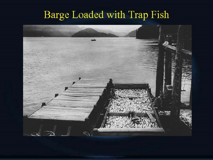 Barge Loaded with Trap Fish