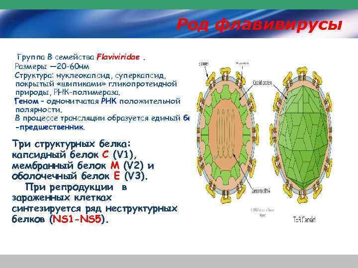 Род флавивирусы Группа В семейства Flaviviridae. Размеры — 20 -60 нм Структура: нуклеокапсид, суперкапсид,