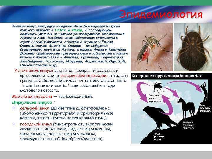 Эпидемиология Впервые вирус лихорадки западного Нила был выделен из крови больного человека в 1937