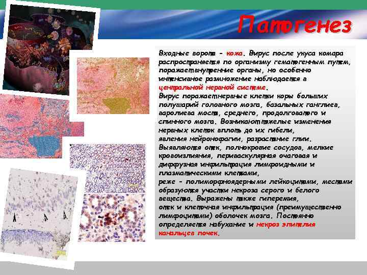 Патогенез Входные ворота - кожа. Вирус после укуса комара распространяется по организму гематогенным путем,