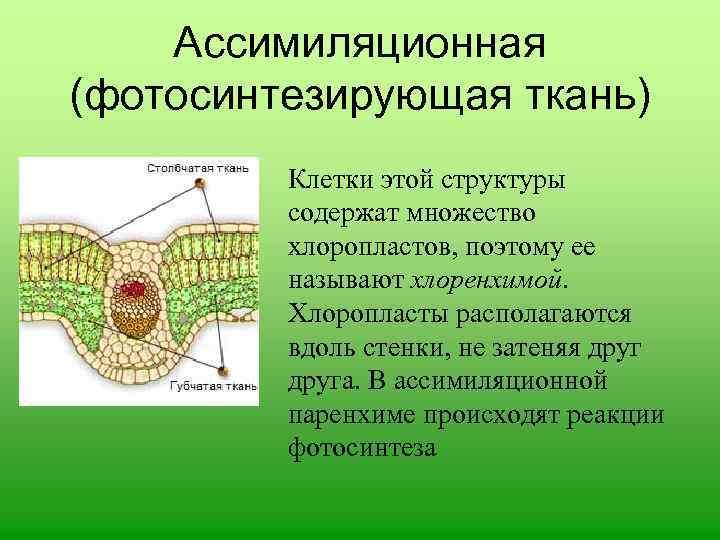 Фотосинтезирующая ткань выполняет важную функцию