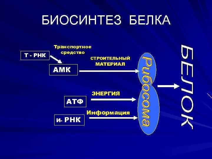 БИОСИНТЕЗ БЕЛКА Т - РНК Транспортное средство СТРОИТЕЛЬНЫЙ АМК АТФ И- РНК МАТЕРИАЛ ЭНЕРГИЯ