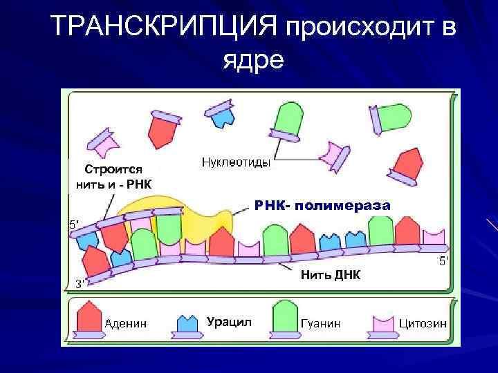 ТРАНСКРИПЦИЯ происходит в ядре Строится нить и - РНК- полимераза Нить ДНК Урацил