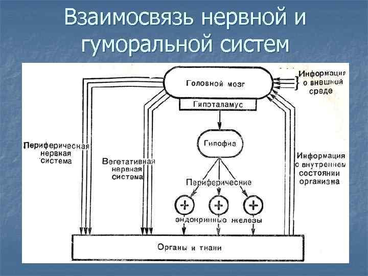 Взаимосвязь нервной и гуморальной систем