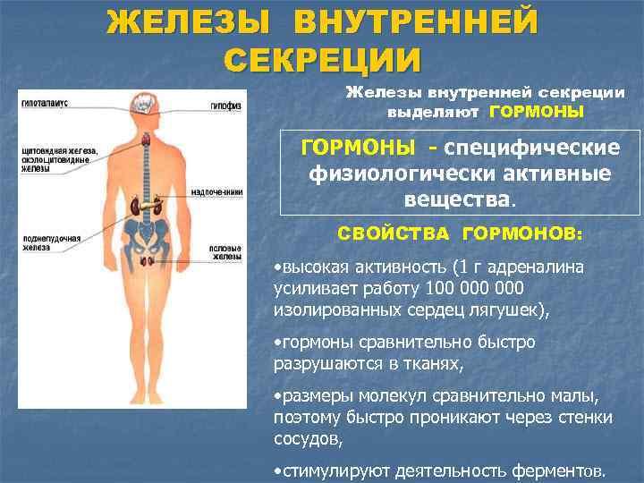 ЖЕЛЕЗЫ ВНУТРЕННЕЙ СЕКРЕЦИИ Железы внутренней секреции выделяют ГОРМОНЫ - специфические физиологически активные вещества. СВОЙСТВА