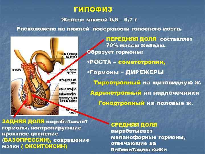 ГИПОФИЗ Железа массой 0, 5 – 0, 7 г Расположена на нижней поверхности головного