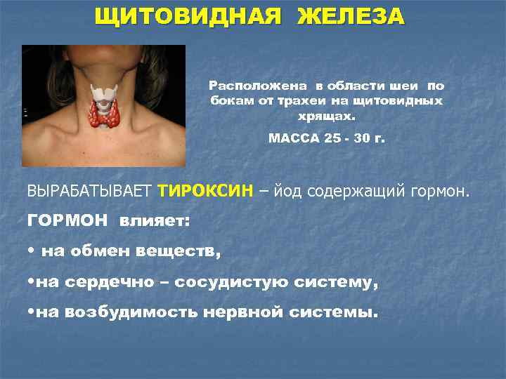 ЩИТОВИДНАЯ ЖЕЛЕЗА Расположена в области шеи по бокам от трахеи на щитовидных хрящах. МАССА