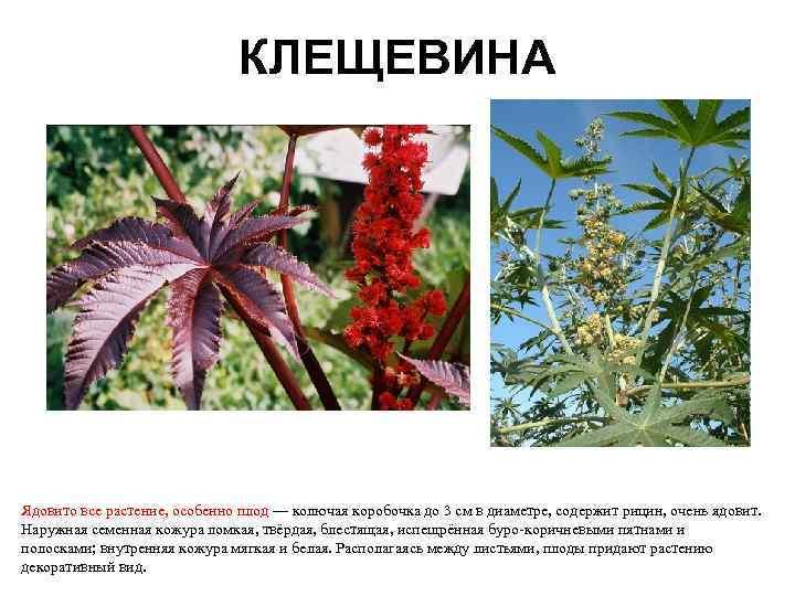 все ядовитые цветы крыма фото с описанием