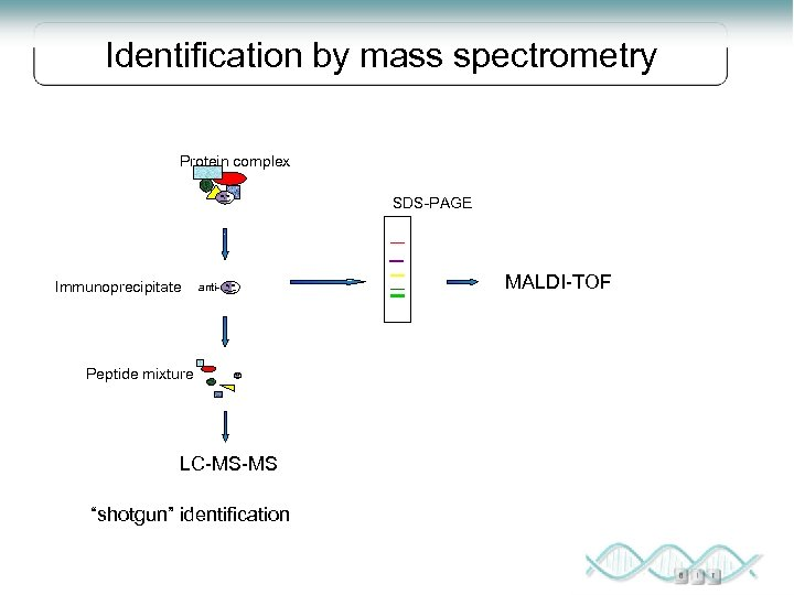 "Identification by mass spectrometry Protein complex SDS-PAGE Immunoprecipitate anti- Peptide mixture LC-MS-MS ""shotgun"" identification"