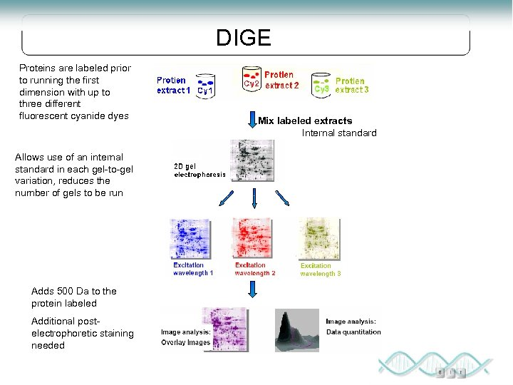 DIGE Proteins are labeled prior to running the first dimension with up to three