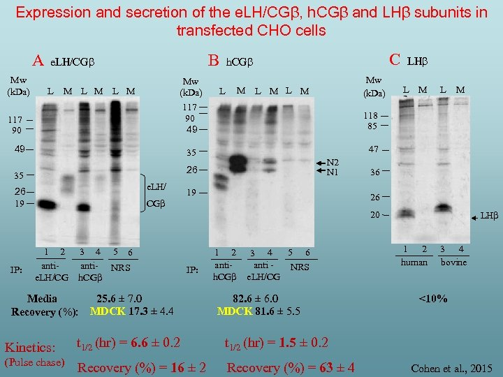 Expression and secretion of the e. LH/CGβ, h. CGβ and LHβ subunits in transfected