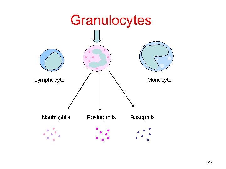 Granulocytes Lymphocyte Neutrophils Monocyte Eosinophils Basophils 77