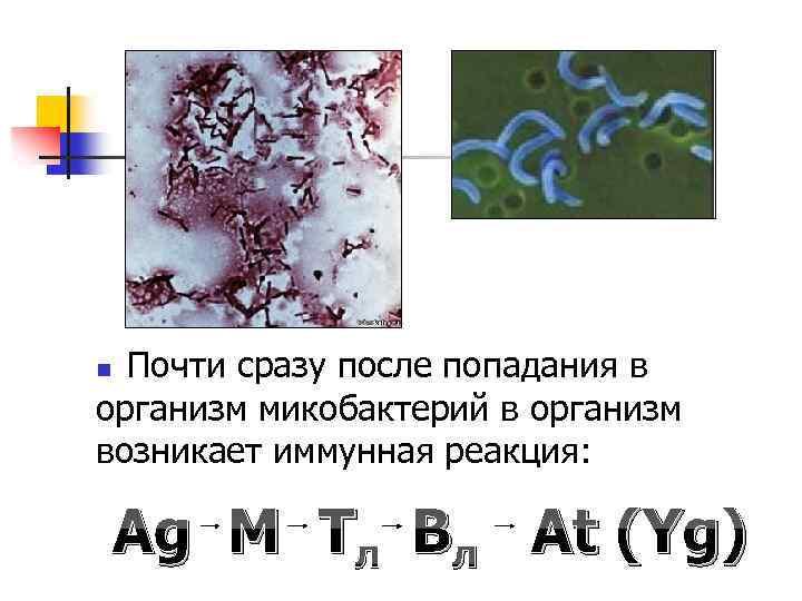 Почти сразу после попадания в организм микобактерий в организм возникает иммунная реакция: n