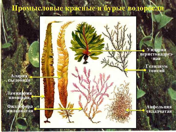 Промысловые красные и бурые водоросли Ундария перистонадрезная Алария съедобная Гелидиум тонкий Ламинария японская Филлофора