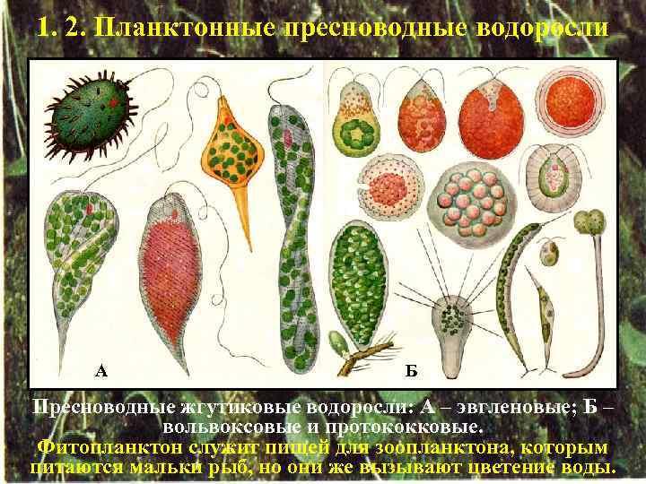 1. 2. Планктонные пресноводные водоросли А Б Пресноводные жгутиковые водоросли: А – эвгленовые; Б