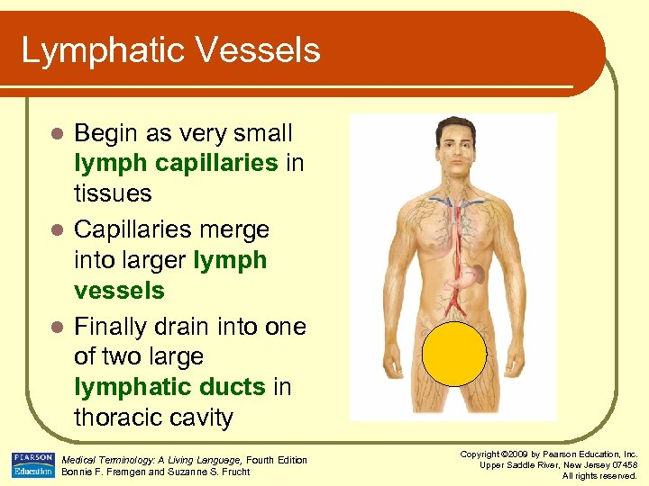 Lymphatic Vessels Begin as very small lymph capillaries in tissues l Capillaries merge into