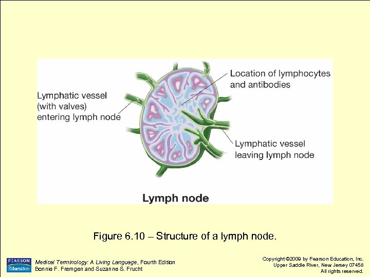 Figure 6. 10 – Structure of a lymph node. Medical Terminology: A Living Language,