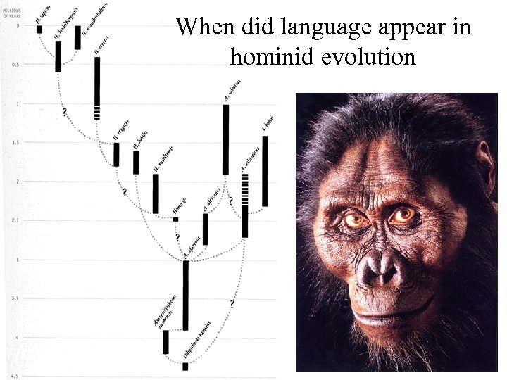 When did language appear in hominid evolution