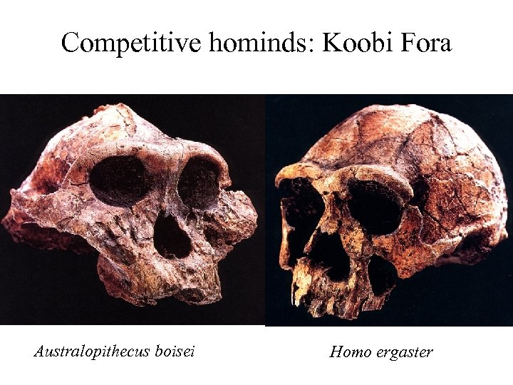 Competitive hominds: Koobi Fora Australopithecus boisei Homo ergaster