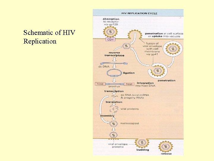 Schematic of HIV Replication