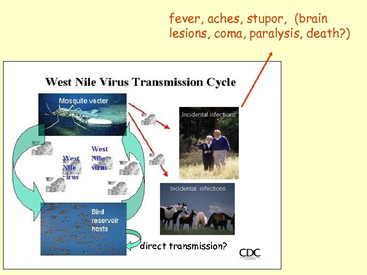 fever, aches, stupor, (brain lesions, coma, paralysis, death? ) direct transmission?