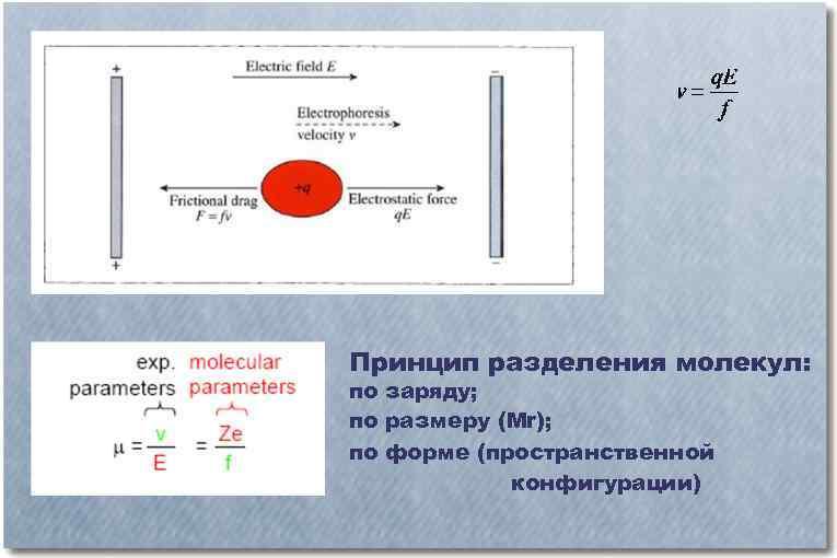 Принцип разделения молекул: по заряду; по размеру (Mr); по форме (пространственной конфигурации)