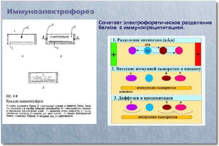 Иммуноэлектрофорез Сочетает электрофоретическое разделение белков с иммунопреципитацией.