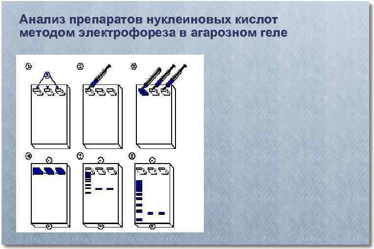 Анализ препаратов нуклеиновых кислот методом электрофореза в агарозном геле