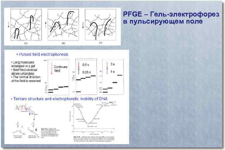 PFGE – Гель-электрофорез в пульсирующем поле