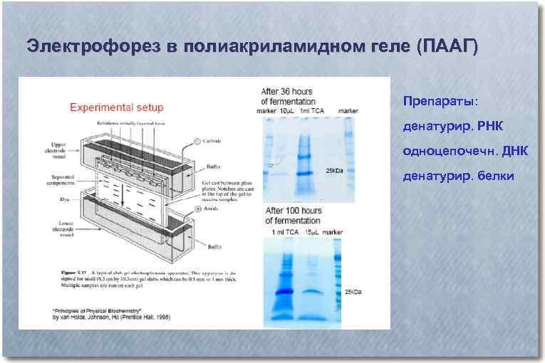 Электрофорез в полиакриламидном геле (ПААГ) Препараты: денатурир. РНК одноцепочечн. ДНК денатурир. белки