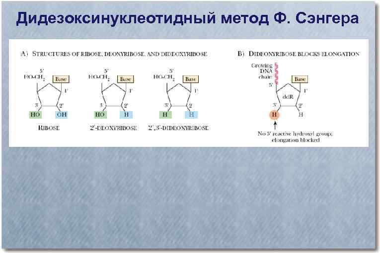 Дидезоксинуклеотидный метод Ф. Сэнгера