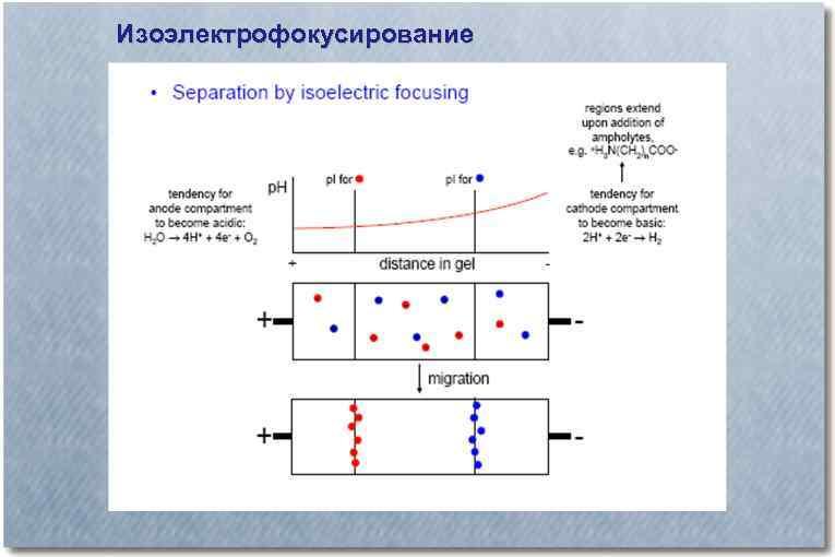 Изоэлектрофокусирование