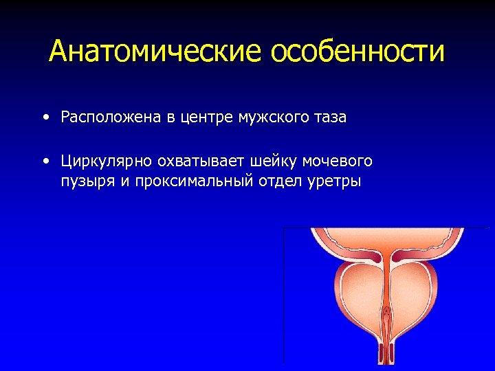 Анатомические особенности • Расположена в центре мужского таза • Циркулярно охватывает шейку мочевого пузыря
