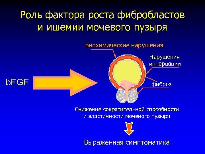Роль фактора роста фибробластов и ишемии мочевого пузыря Биохимические нарушения Нарушения иннервации b. FGF
