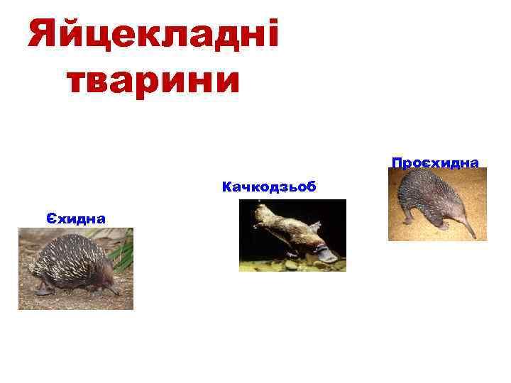 Яйцекладні тварини Проєхидна Качкодзьоб Єхидна