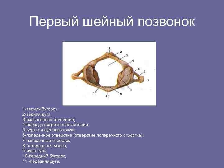 Первый шейный позвонок 1 -задний бугорок; 2 -задняя дуга; 3 -позвоночное отверстие; 4 -борозда