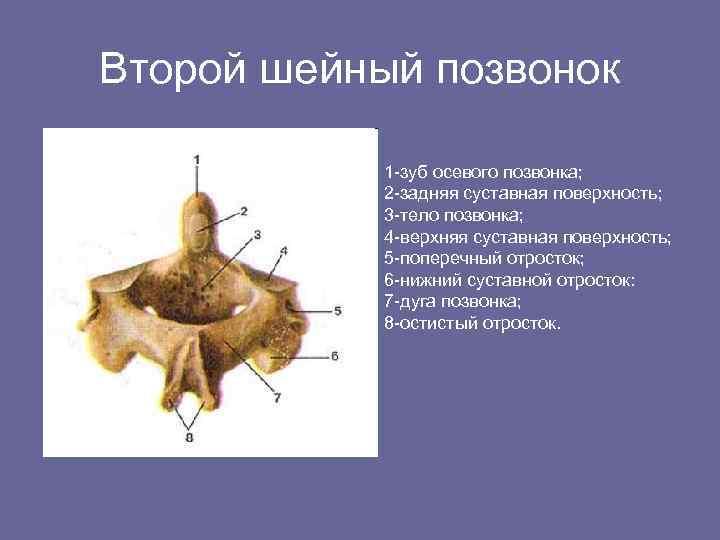 Второй шейный позвонок 1 -зуб осевого позвонка; 2 -задняя суставная поверхность; 3 -тело позвонка;