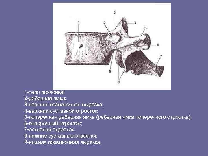 1 -тело позвонка; 2 -реберная ямка; 3 -верхняя позвоночная вырезка; 4 -верхний суставной отросток;