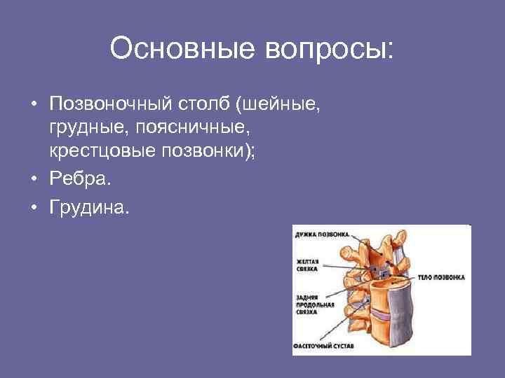 Основные вопросы: • Позвоночный столб (шейные, грудные, поясничные, крестцовые позвонки); • Ребра. • Грудина.