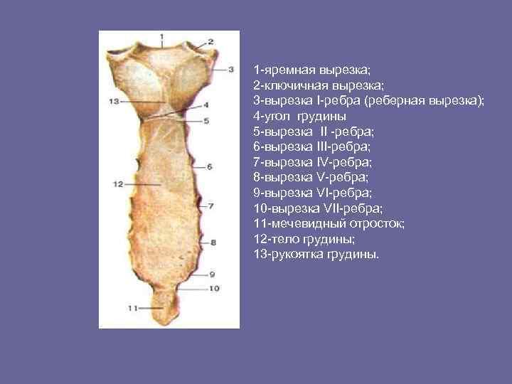 1 -яремная вырезка; 2 -ключичная вырезка; 3 -вырезка I-ребра (реберная вырезка); 4 -угол грудины