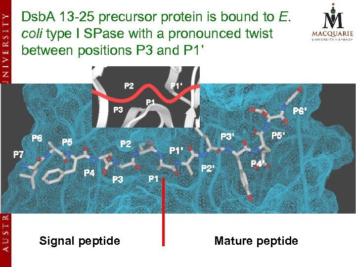 Dsb. A 13 -25 precursor protein is bound to E. coli type I SPase