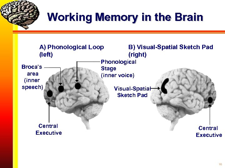 Working Memory in the Brain A) Phonological Loop (left) Broca's area (inner speech) Central