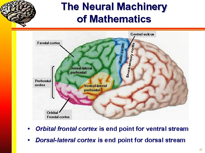 The Neural Machinery of Mathematics Prefrontal cortex ry cort senso Dorsal-lateral prefrontal Sanato Motor